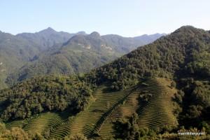 Wudang ist auch bekannt für seinen Teeanbau.